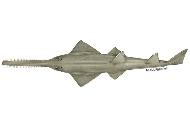 Green sawfish illustration.