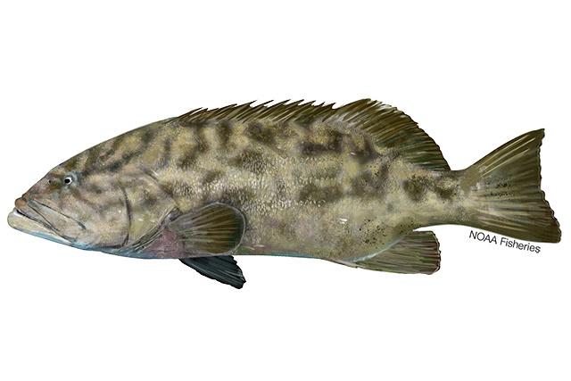 Gulf grouper illustration