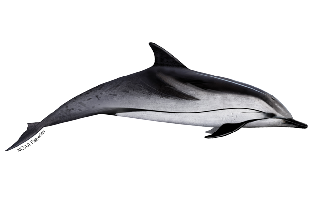 Striped dolphin illustration