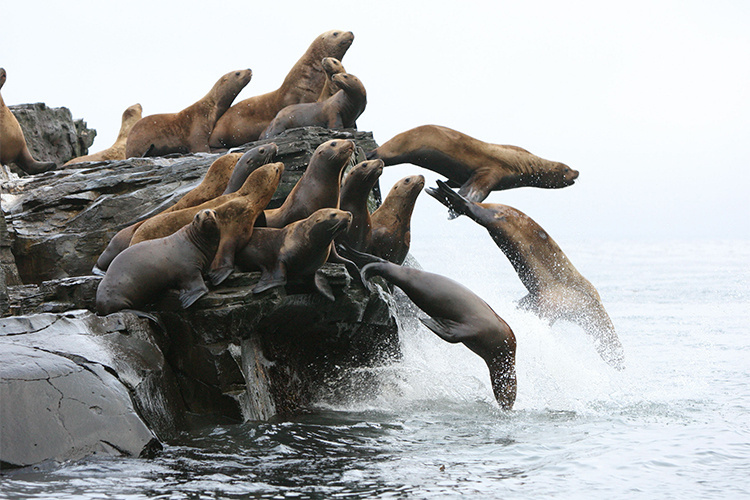 Sea lions on rocks and jumping into water