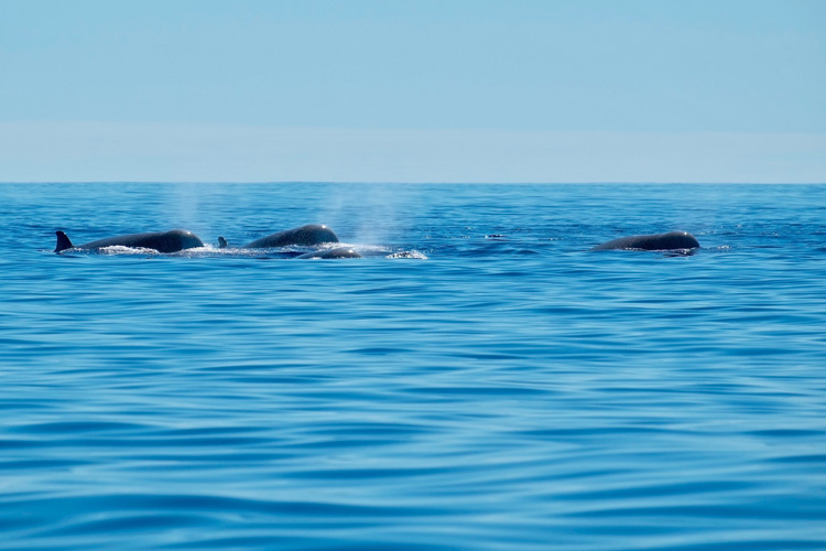 A pod of northern bottlenose whales surfacing in the Atlantic Ocean near Pico Island, Azores