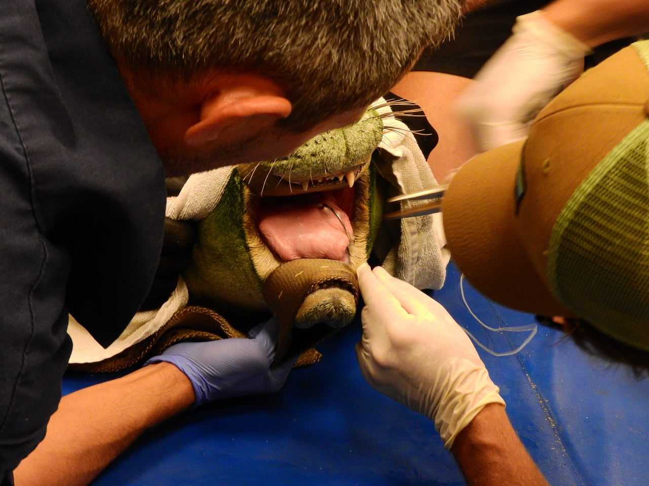 A NOAA veterinarian and team removes large barbed circle hook from RH32 while under sedation at the NOAA Facility on Ford Island
