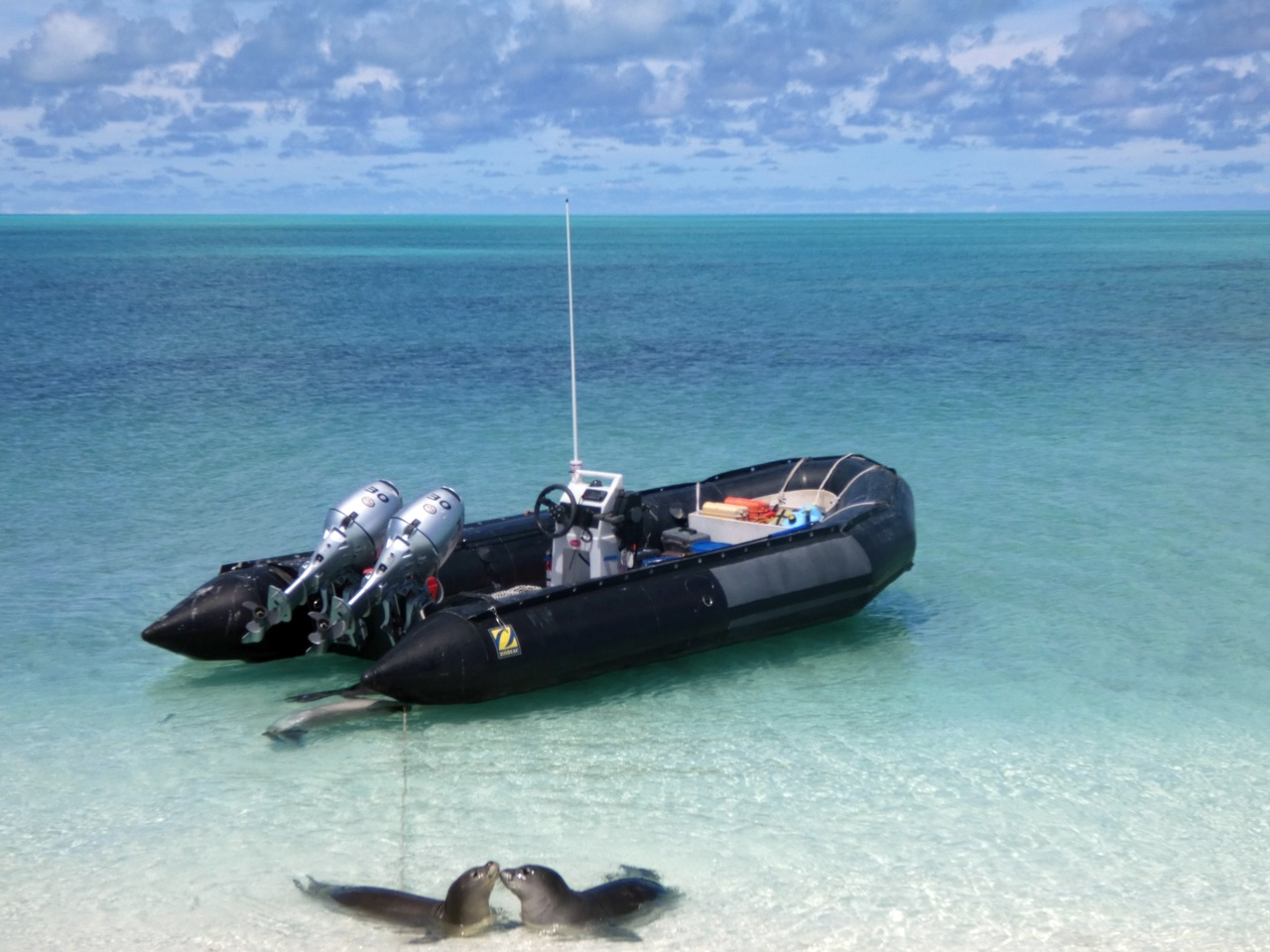 Two monk seal pups in water in front of small inflatable boat.