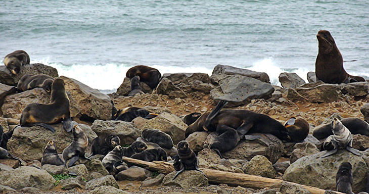 Nursing mother and pup pairs surrounded by other pups awaiting their mothers' return, Photo by C. Kuhn
