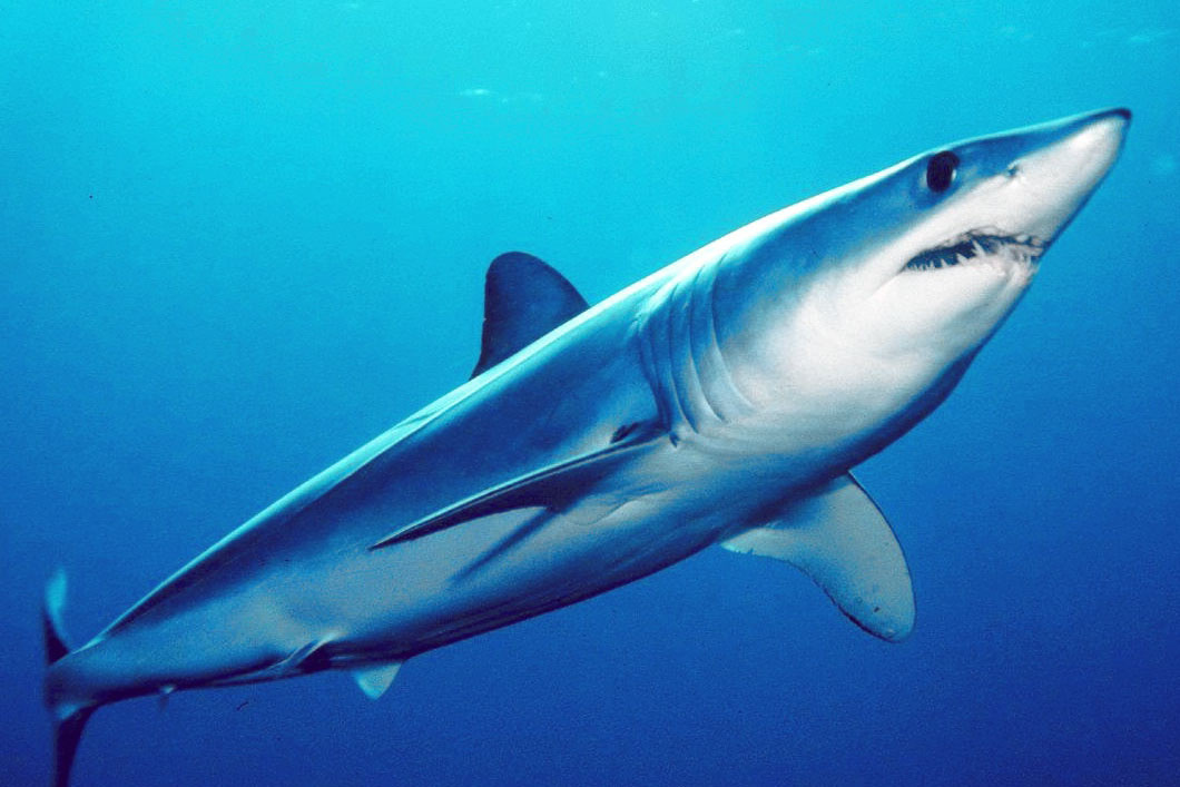 Shortfin mako shark swimming underwater. Credit: Mark Conlin/Southwest Fisheries Science Center.