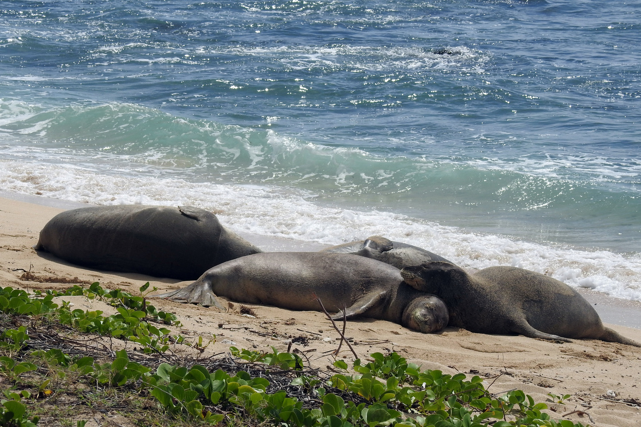A group of male monk seals resting on the beach together.