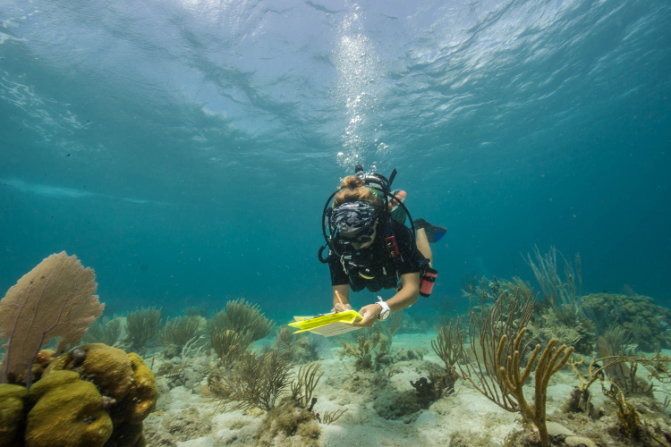 SCUBA diver surveys reef fish in the shallow Caribbean waters