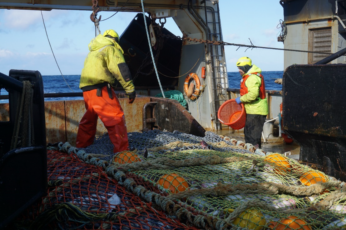 The crew of the F/V Ocean Explorer help hand-select Pacific cod for tagging.