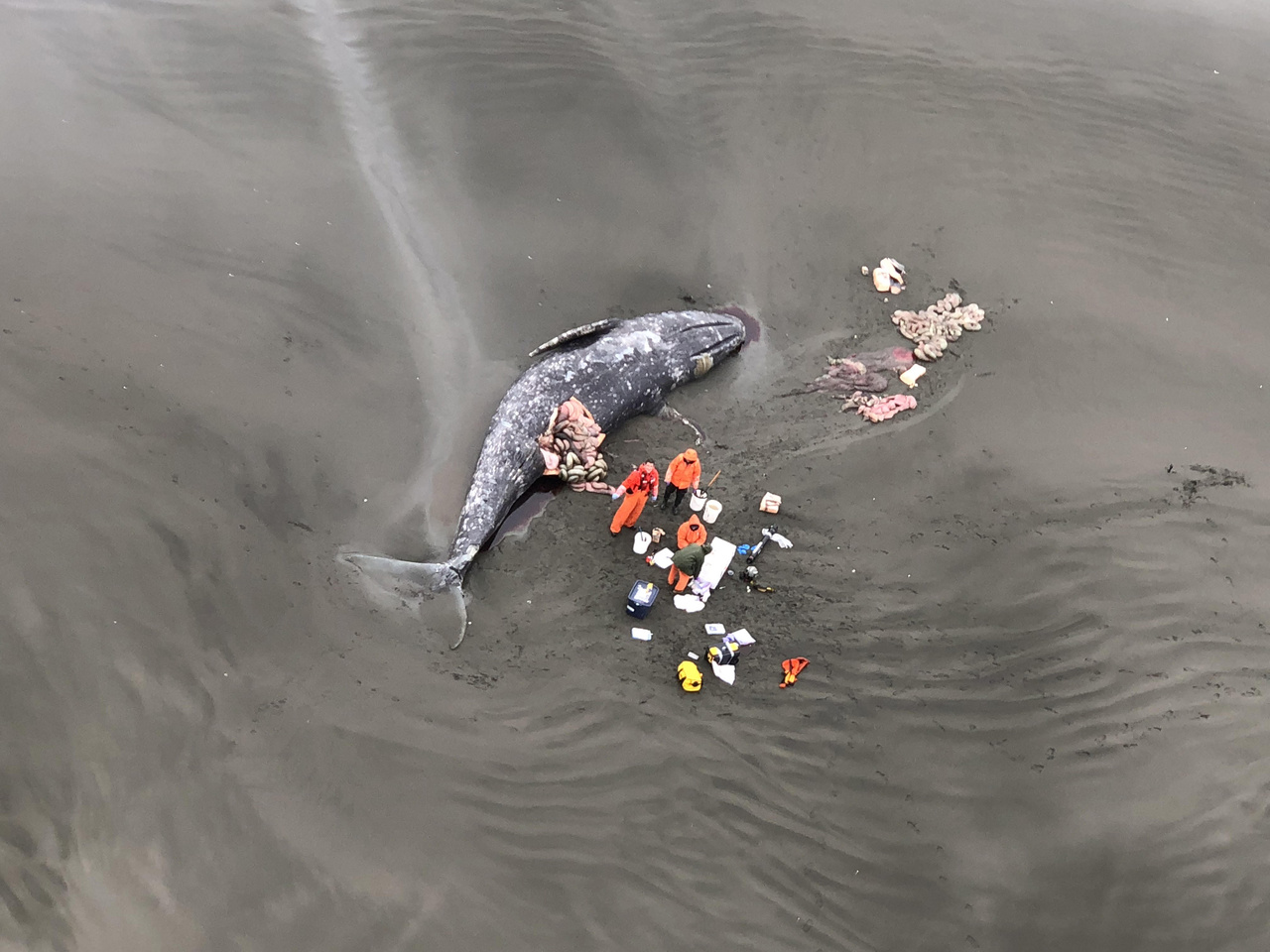 3000x2000 USCG aerial necropsy.jpg Aerial photo of necropsy team examining gray whale.