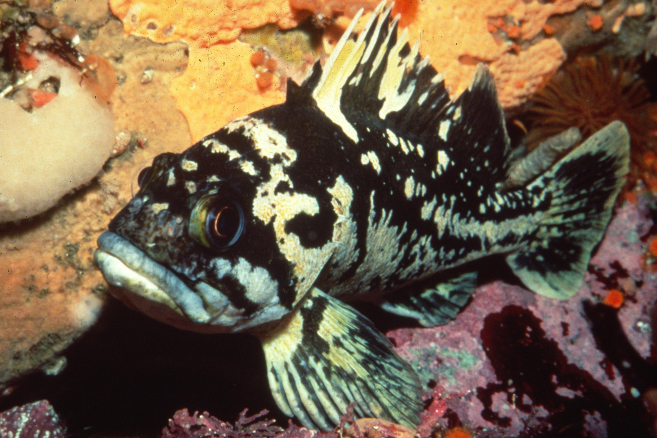 750x500-Black-and-yellow-rockfish.jpg