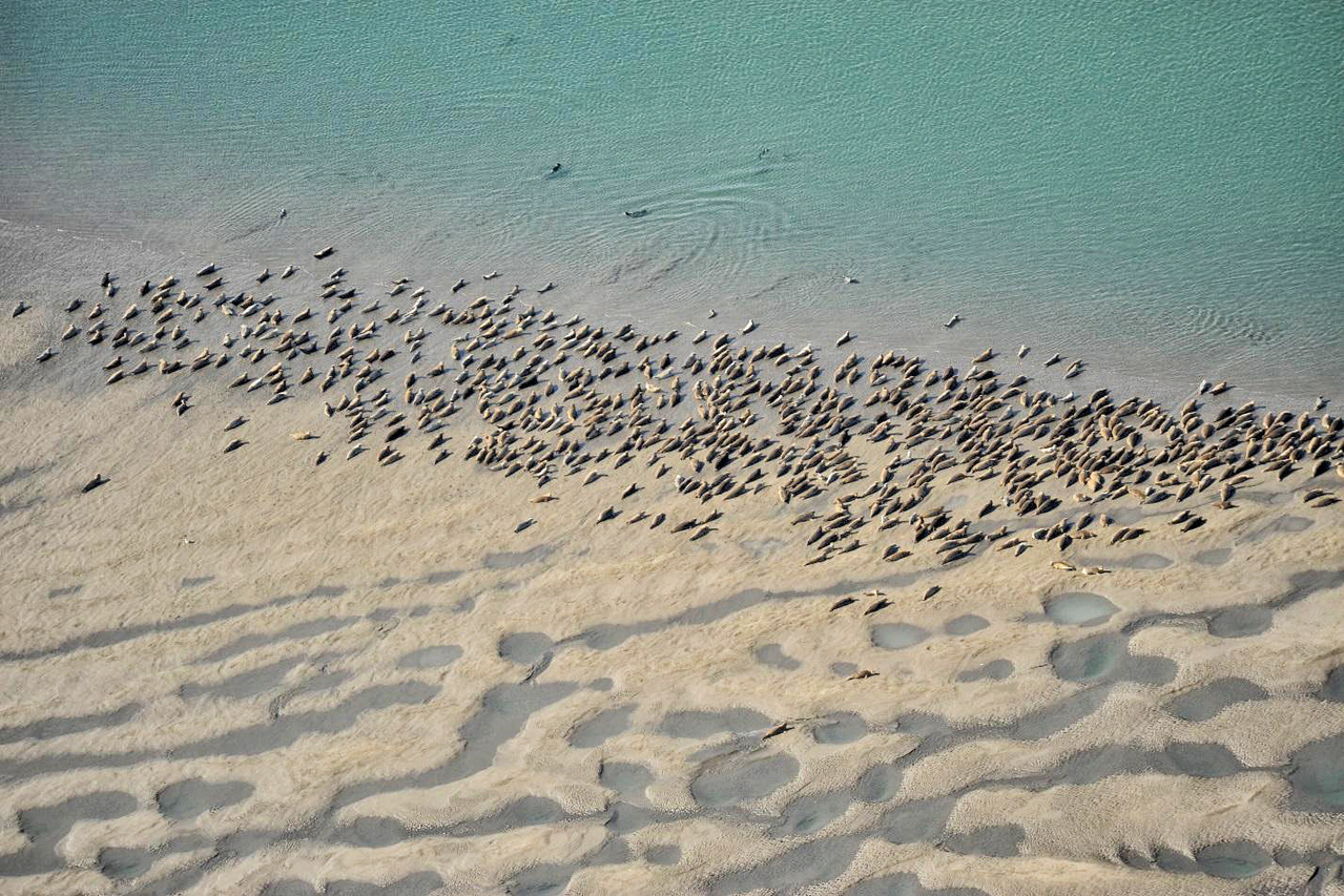Harbor seals hauled out on a sand bar. Photo by Dave Withrow.