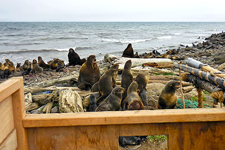 Understanding Northern Fur Seal, Photo by John Skinner