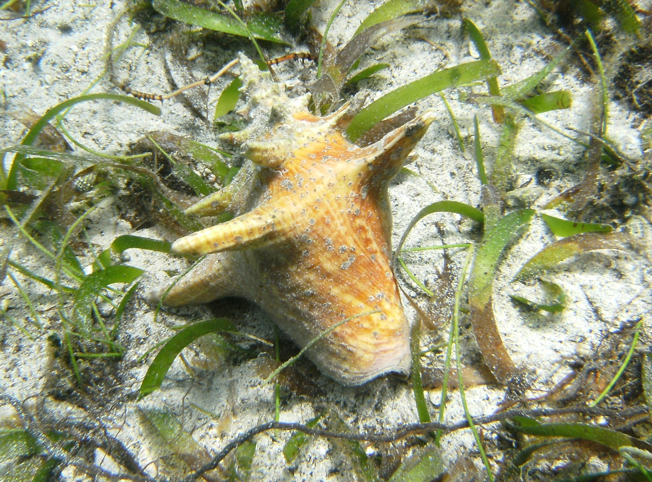 queen conch_credit Galveston Lab .jpg