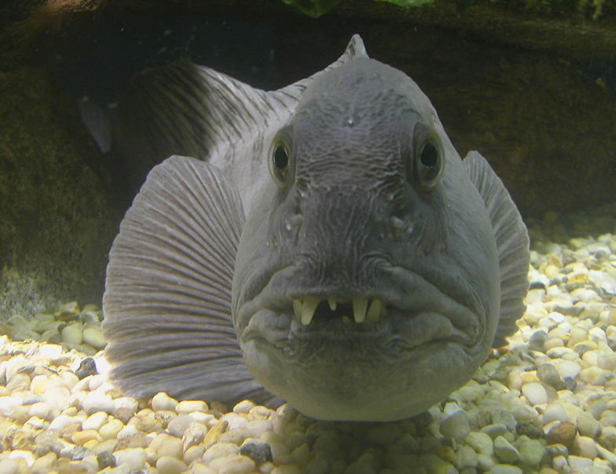 wolffish showing its big teeth