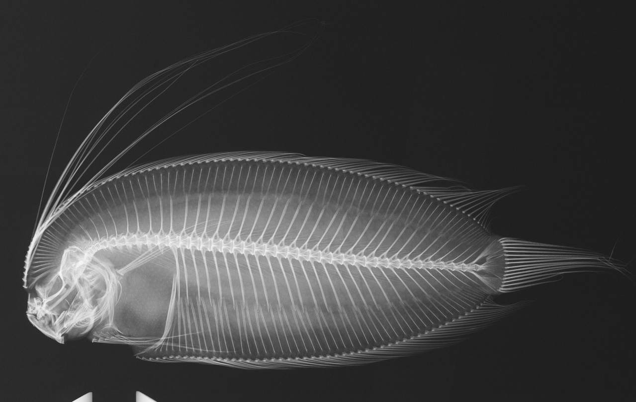 Radiograph of a species of Samaris.jpg