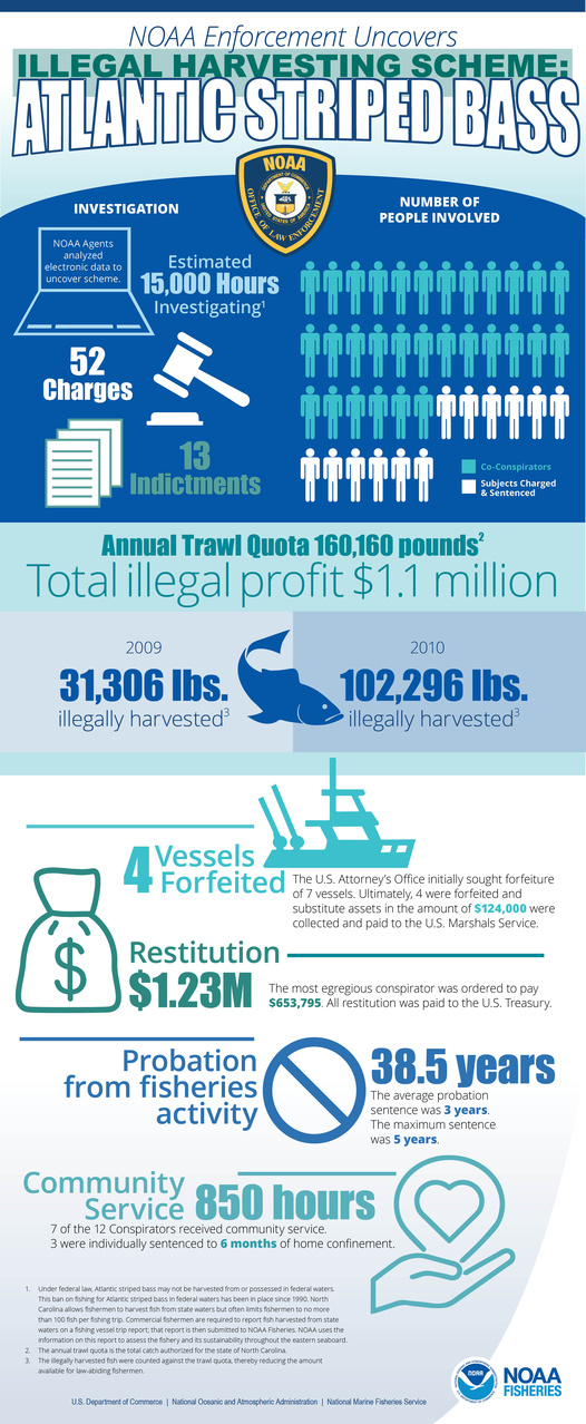 An infographic about an illegal Atlantic striped bass fishing scheme, uncovered by NOAA Enforcement.
