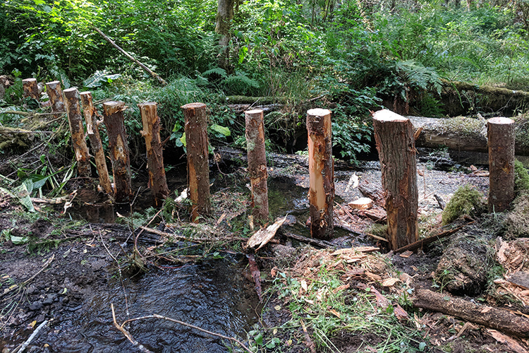 A row of log pilings sits upright in the muddy floor of a forest
