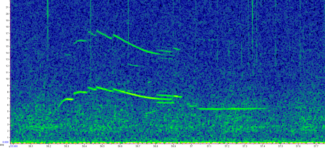 A spectrogram of a rough-toothed dolphin whistle