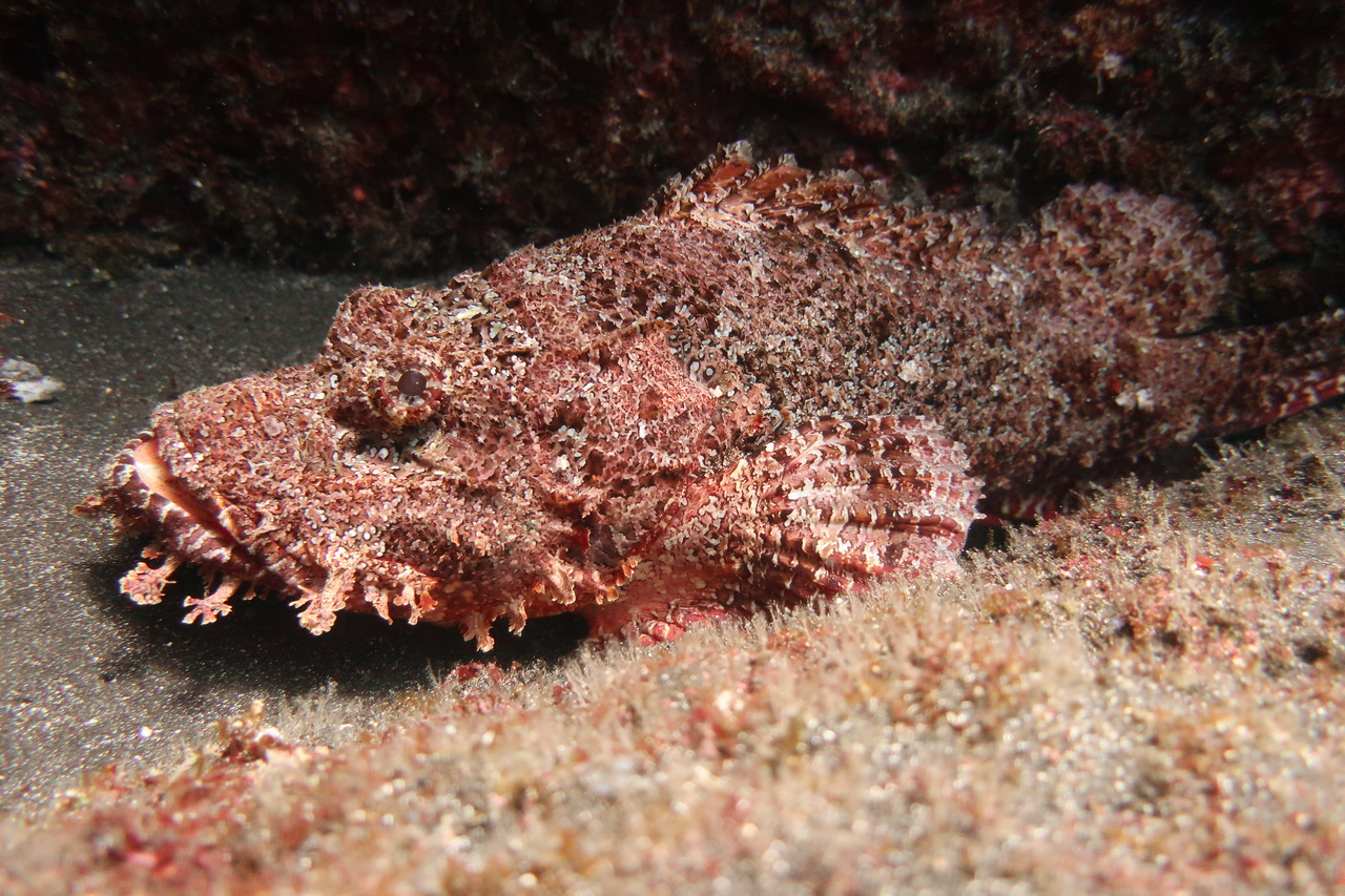 Our fish team spotted this titan scorpionfish — a master of disguise. This predator lies in wait of unsuspecting prey, and is an important component of the coral reef ecosystem. Its coloration and appendages blend in with the algae around it, and as soon as an unsuspecting fish gets too close, it sucks the prey into its large mouth! Photo: NOAA Fisheries/Jake Asher.