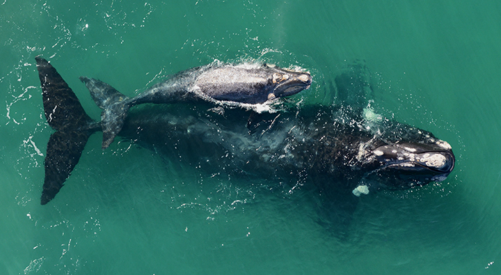 Arial view of a right whale and calf.