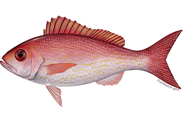 vermilion snapper noaa fisheries