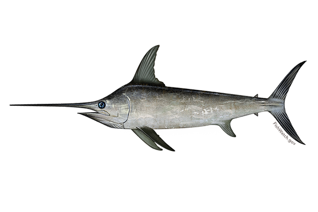 North atlantic swordfish
