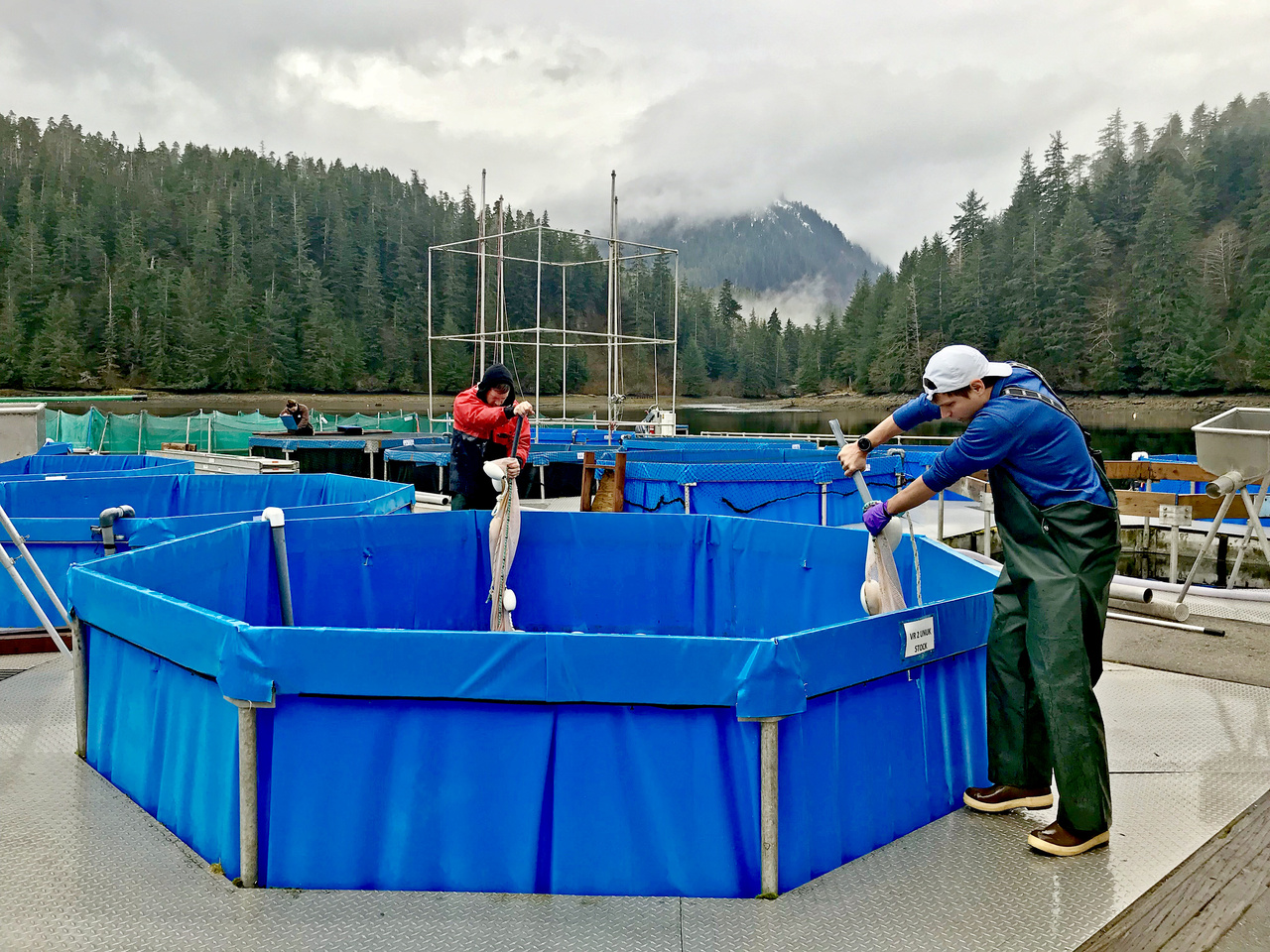 Gerard Foley (left) and Charlie Waters (right) seining juvenile Chinook salmon in a vertical raceway. Photo credit: Katlyn Fuent