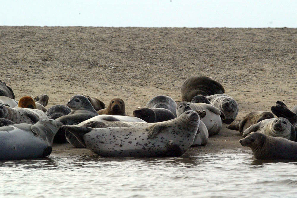 group of harbor seals and gray seals on beach