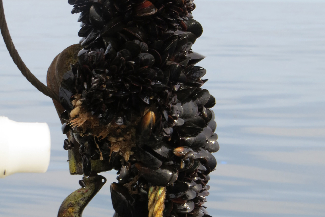 blue mussel growth on a line at an offshore mussel farm