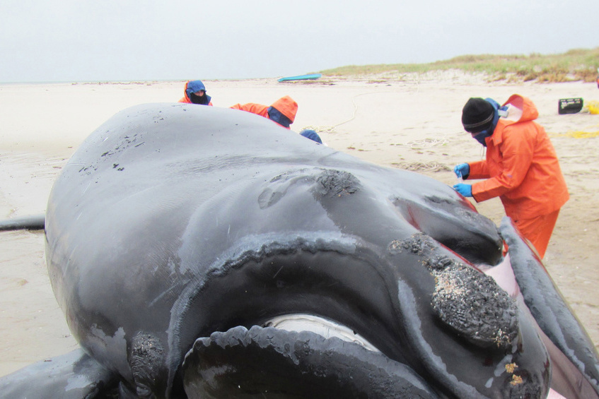 750x500-right-whale-necropsy.jpg