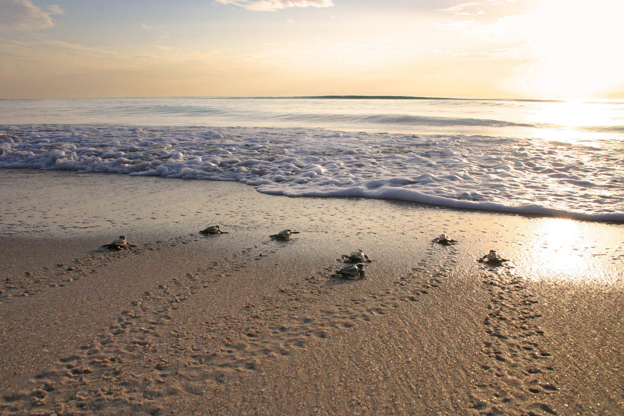 Loggerhead hatchlings at sunrise