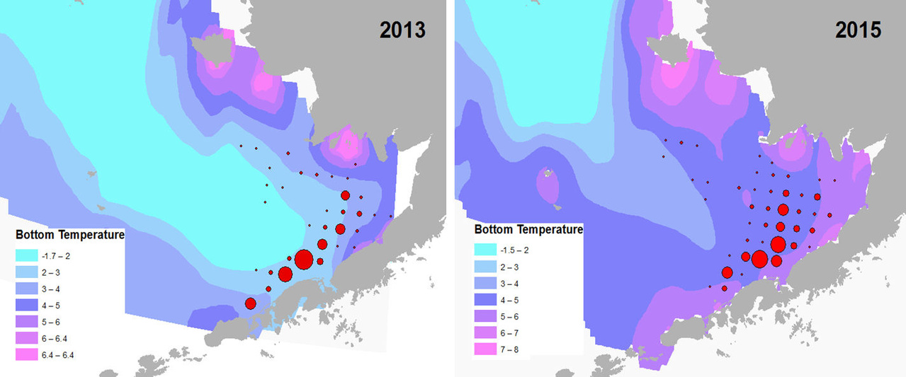 2013 and 2015 are examples of recent years with contrasting bottom temperature conditions. The cold pool (<2°C) is indicated by light blue. Red dots indicate mature female red king crab abundance based on NOAA survey data. The sizes of the dots correspond to relative abundance.