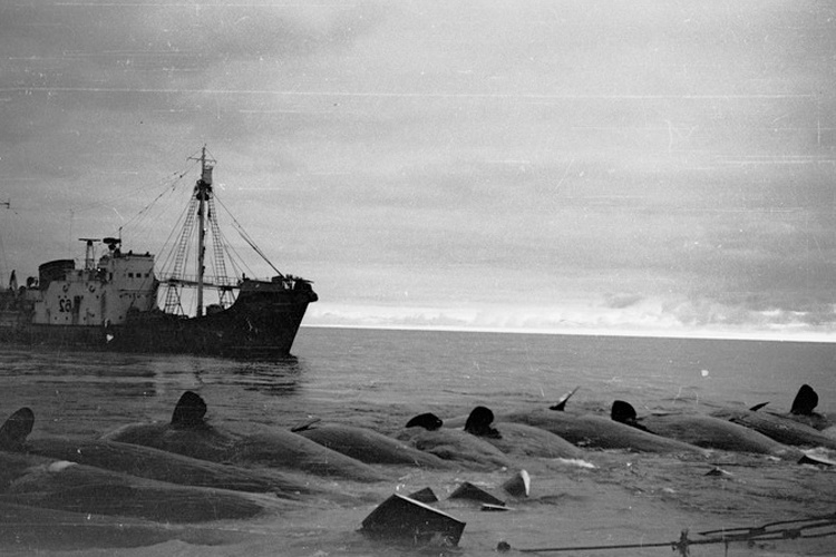 Soviet boat with dead sperm whales