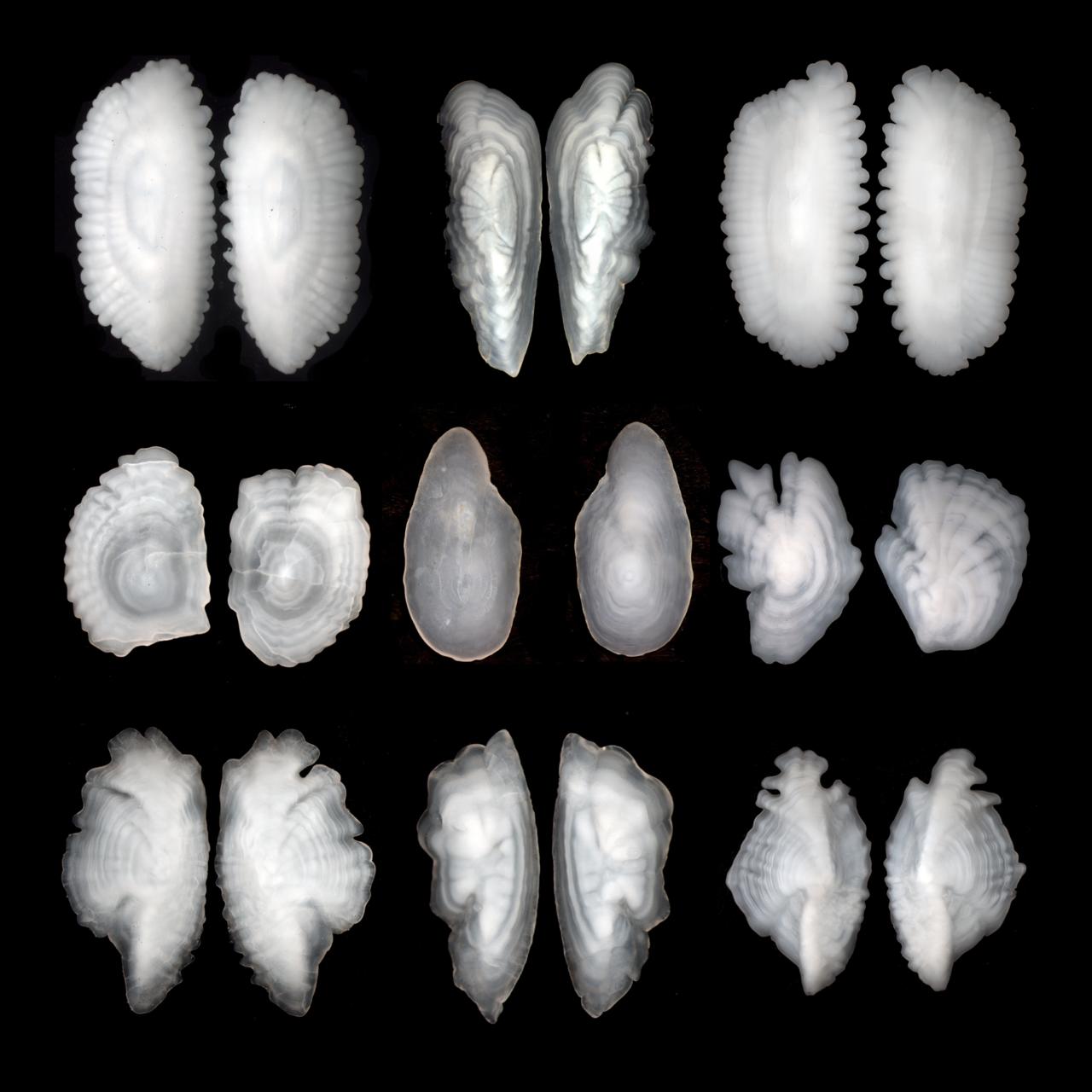 Photo of 9 otolith pairs.