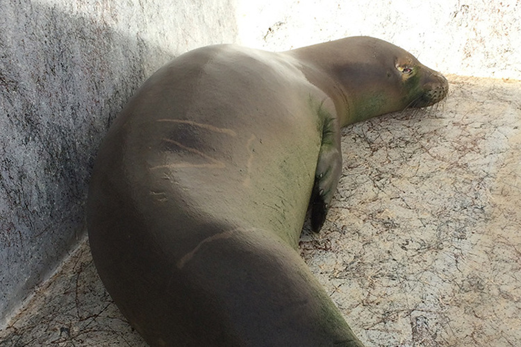 Hawaiian monk seal in a resting pen prior to surgery.