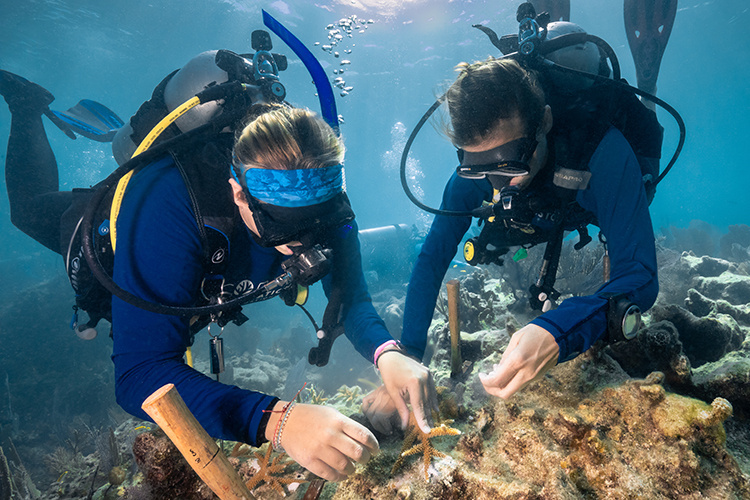 Divers planting staghorn coral
