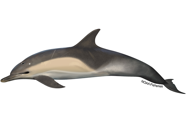 Short-beaked common dolphin illustration.