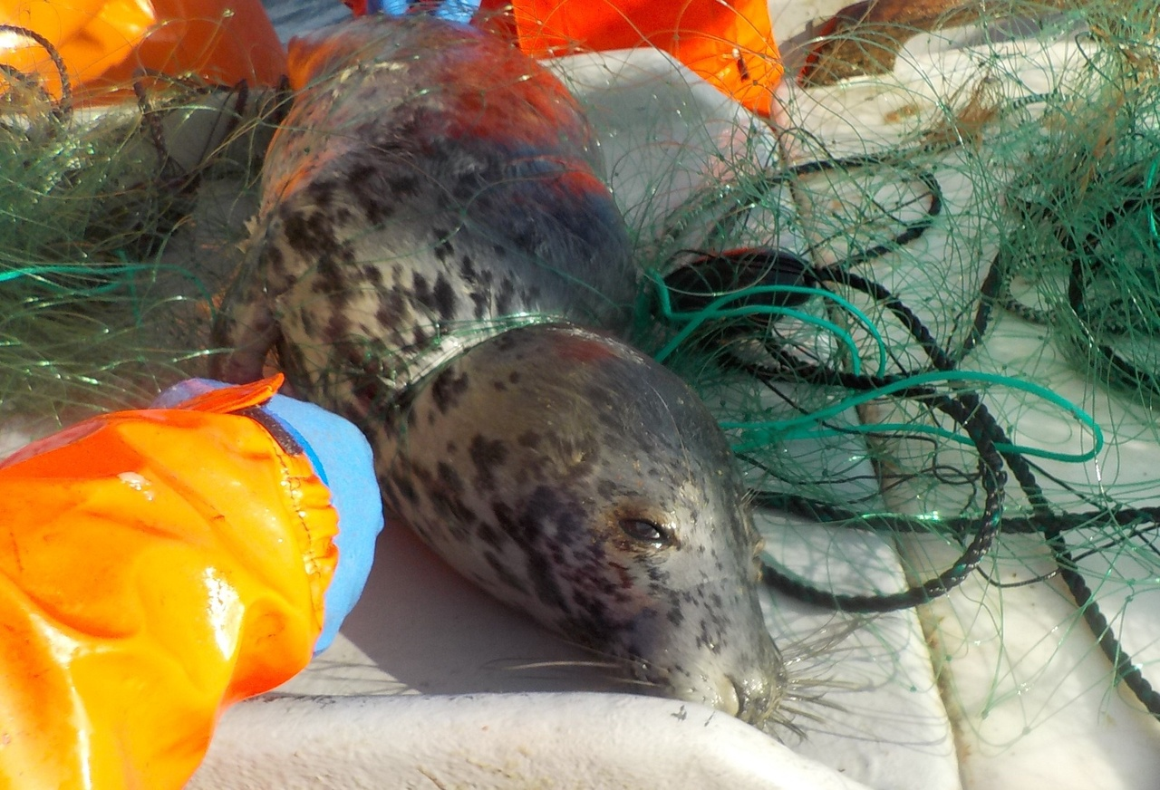 a dead young gray seal lies on the deck of a fishing boat entangled in netting
