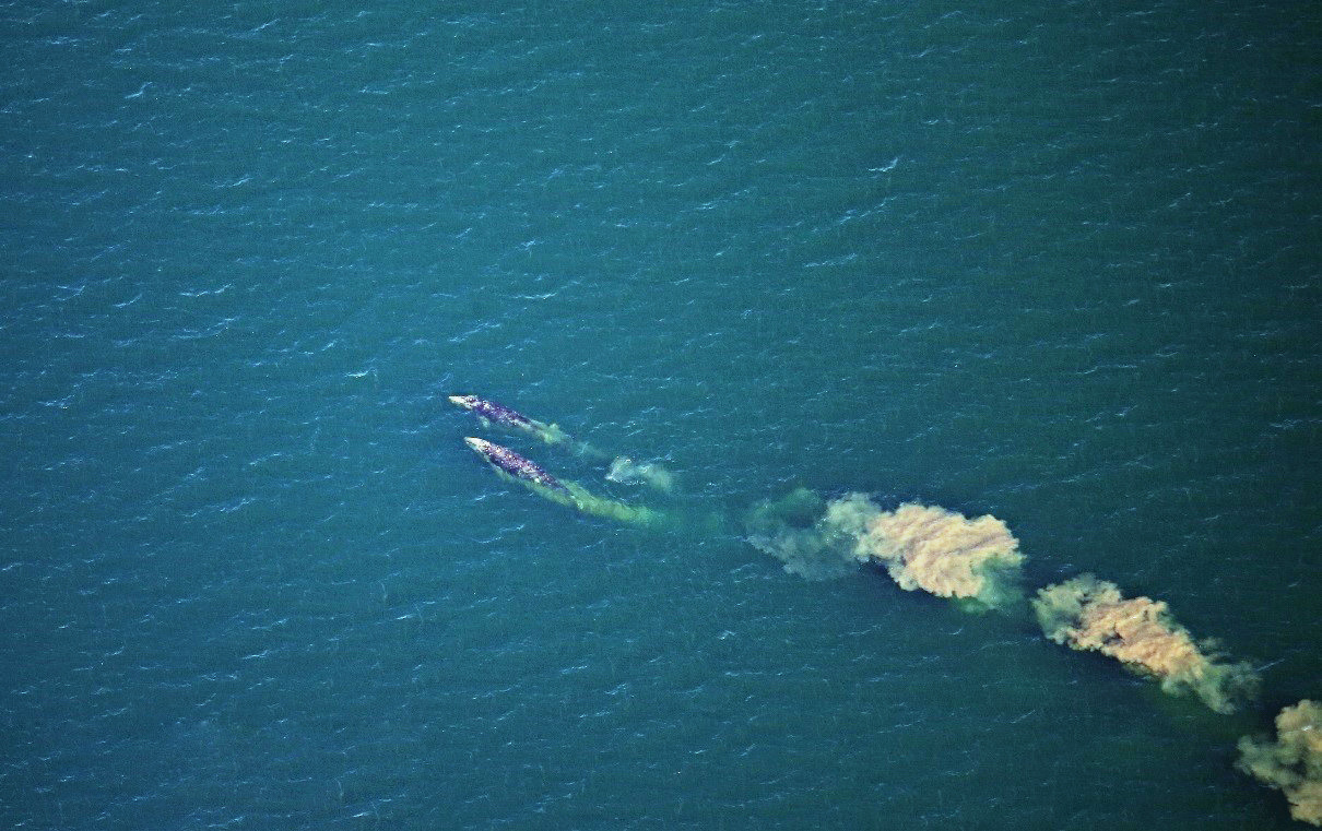 Two Pacific gray whales. Photo taken by: Kate Pagan, NOAA/NMFS/AFSC/MML