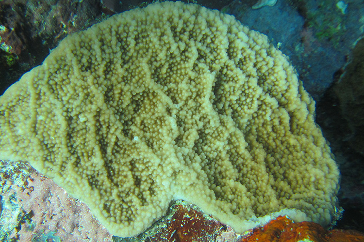 Photo of Isopora crateriformis coral off Wallis Island in the Pacific Ocean.