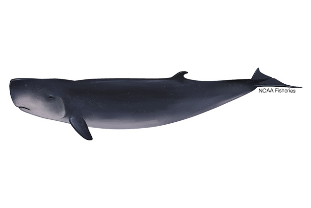 Pygmy sperm whale illustration