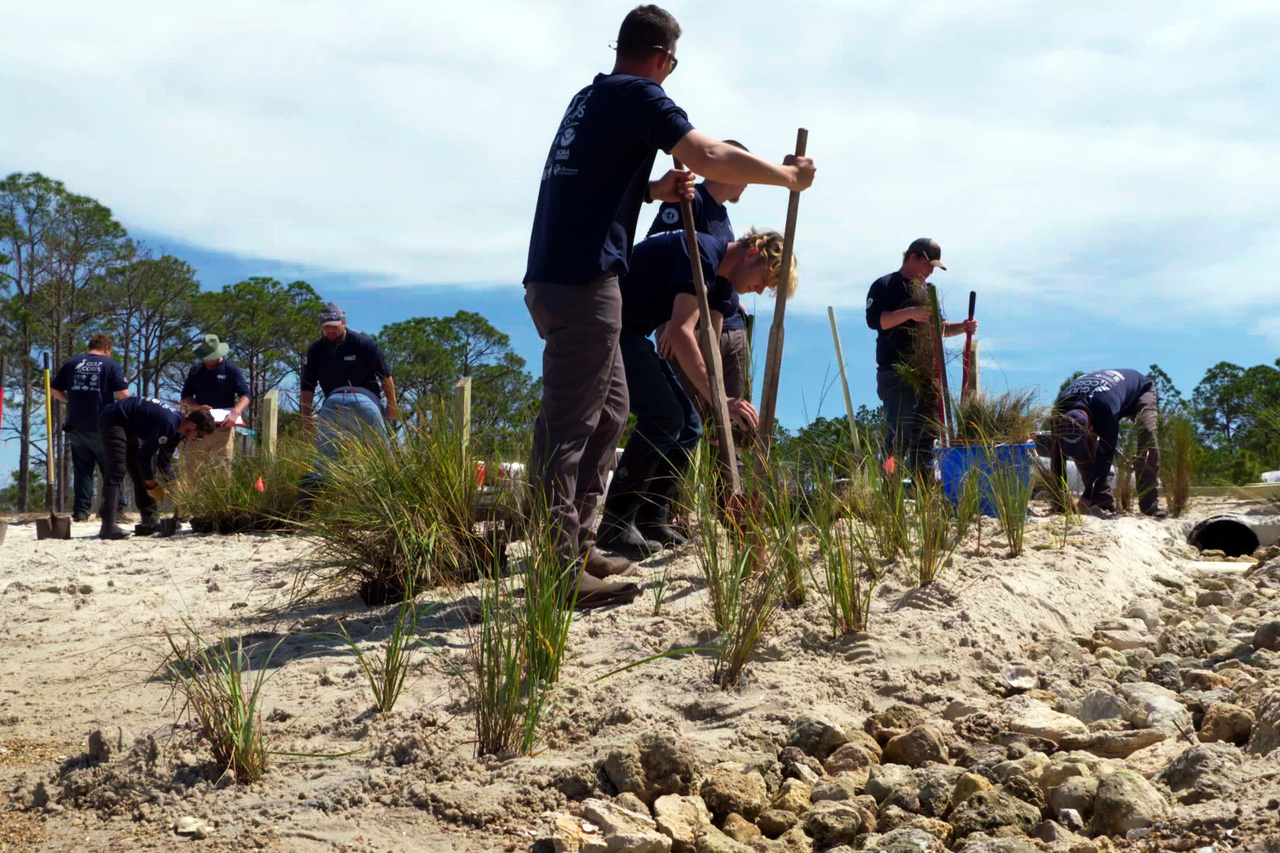 Restoration teams plant grasses on a beach.