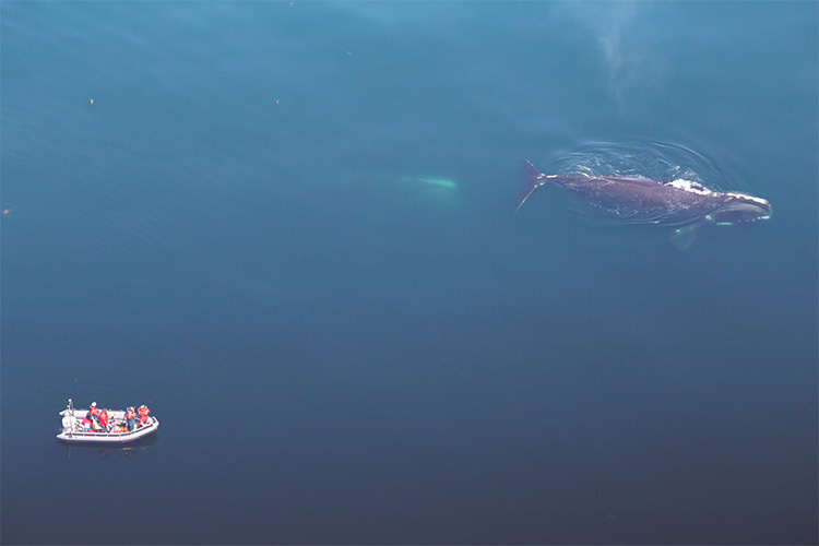 An aerial photo of researchers in a small boat with 2 right whales nearby.