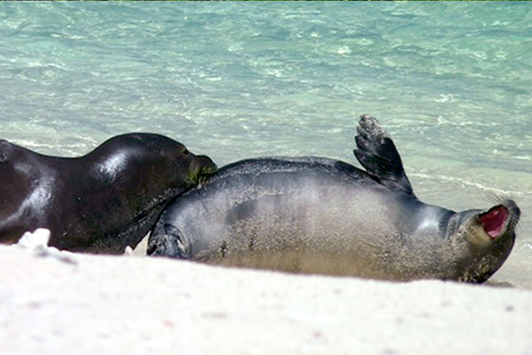 Adult monk seal attacking a pup.