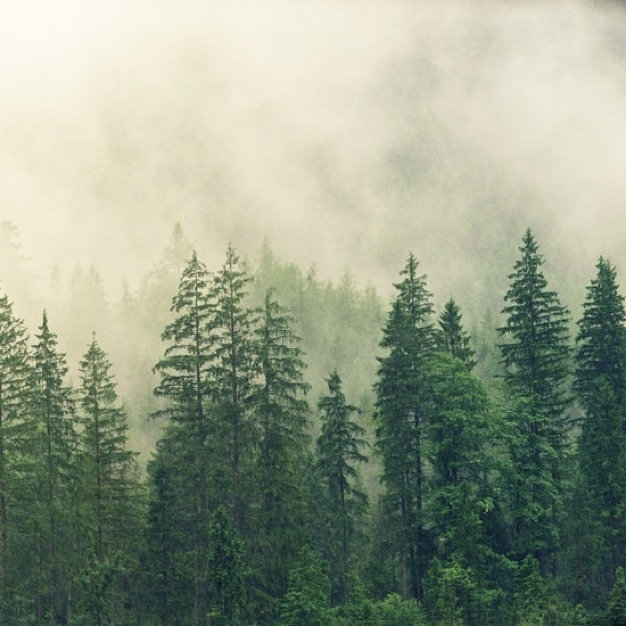Evergreen trees with fog above them in the Pacific Northwest