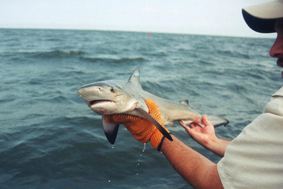 750x500-tobey-curtis-bull-shark-pup.jpg