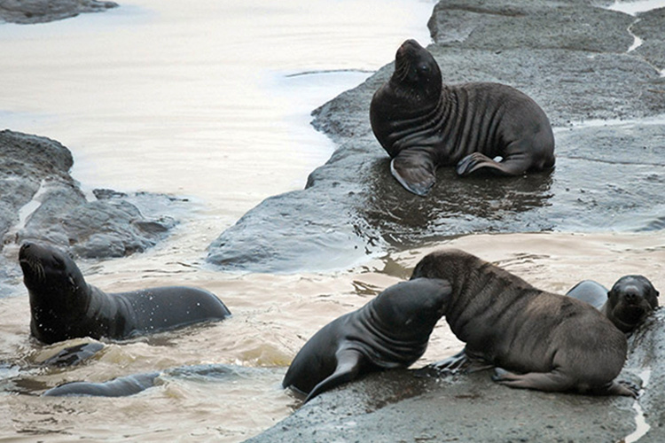 Steller sea lion pups, approximately a month old, spotted playing in pools on Ulak Island.