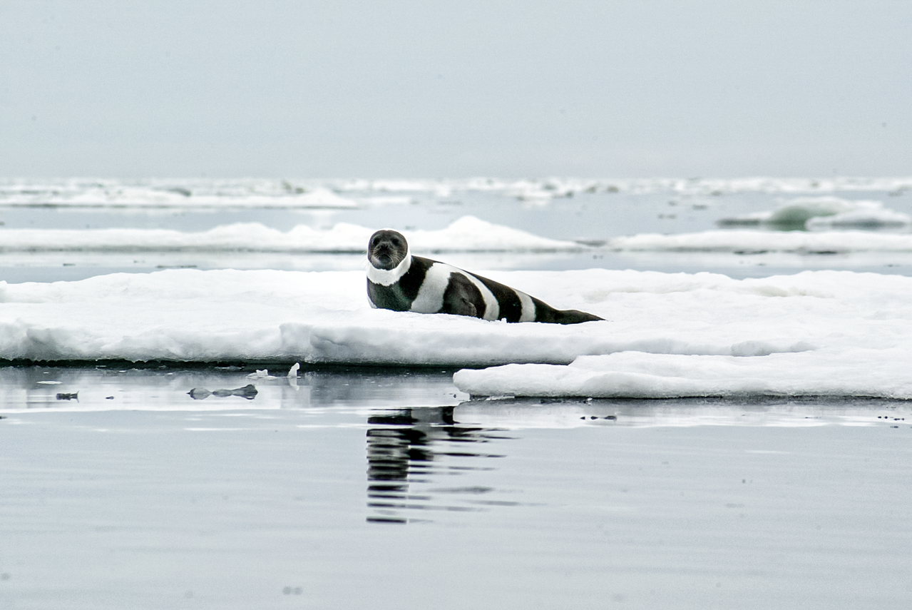 Ribbon seal on sea ice.
