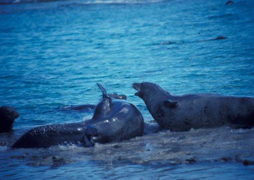 500x356-multiple-male-seal-aggression.jpg.jpg