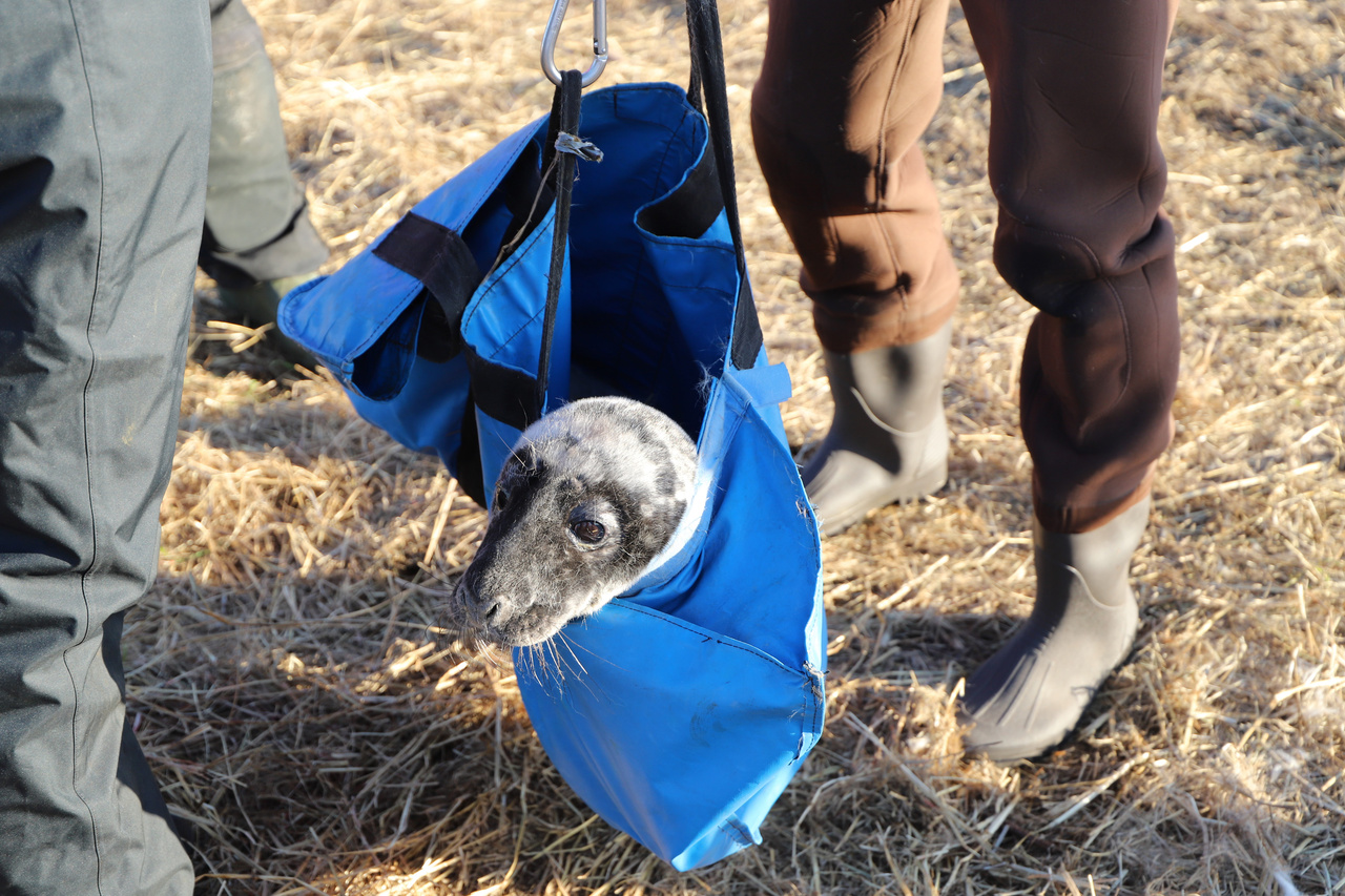 a gray seal pup with his head out of the carrying bag just before he is weighed